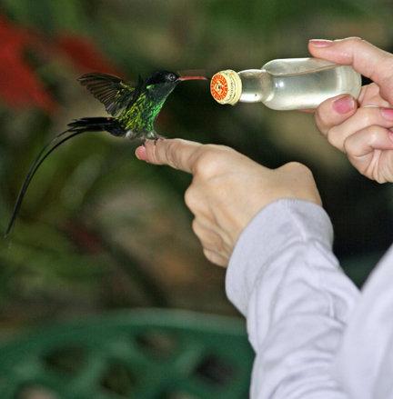 Hummingbird on my finger in Jamaica